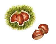 [2709446] Chestnut