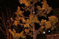 桜の木に振りまかれる雪