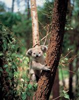 Australia Koala Stock photo [83210] Australia