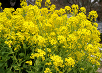 Rape blossoms Stock photo [2875924] Rape