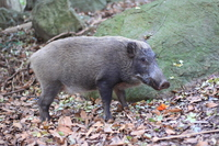 Wild boar Stock photo [2878299] Boar