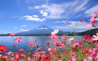 Lake Kawaguchi Cosmos