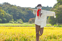 Scarecrow and rice Stock photo [2882480] Scarecrow