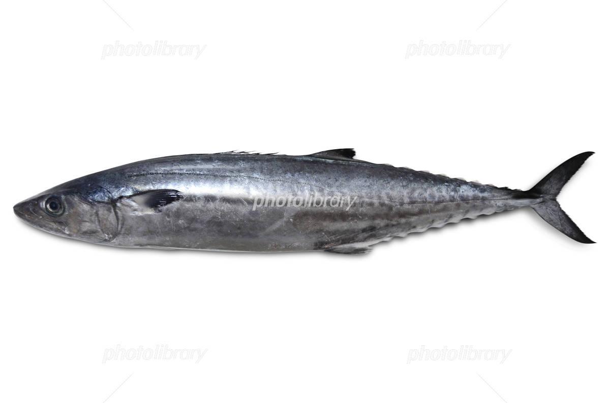 Spanish mackerel Photo
