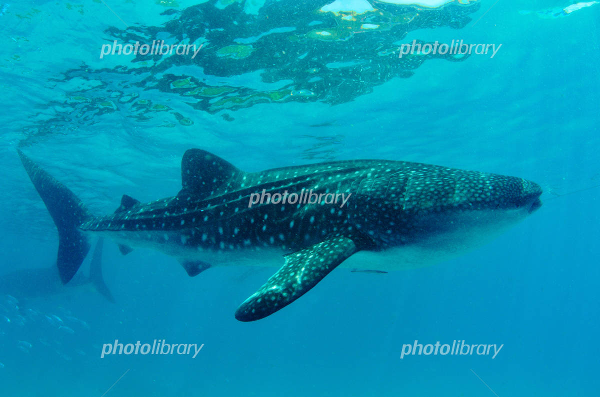 Whale shark Photo