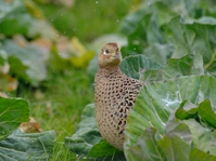 Pheasant hiding cabbage Stock photo [2953608] Pheasant