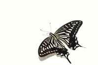 White Background obliquely from the back of the swallowtail butterfly stock photo