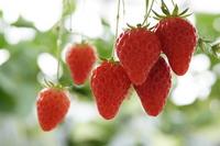 Strawberry picking Stock photo [2957752] Strawberry
