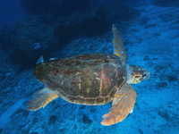Loggerhead turtle Stock photo [2958829] Loggerhead