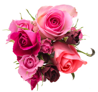 Rose Stock photo [2960909] Rose