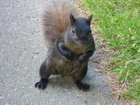 Squirrel Vancouver Stock photo [2962173] Squirrel