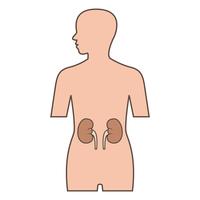 Kidney [2962260] Kidney