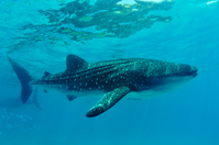 Whale shark Stock photo [2963147] Whale