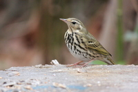 Olive-backed pipit Stock photo [2963291] Bird