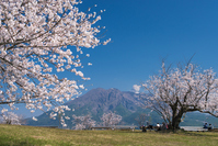 Sakura and Sakurajima Stock photo [3038724] Cherry