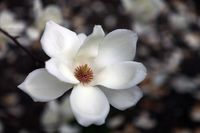 Magnolia Stock photo [3041578] White