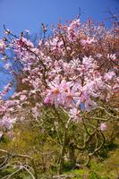 Magnolia stellata Stock photo [3046041] Tree