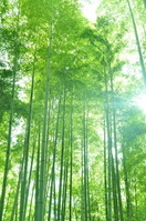 Bamboo forest Bamboo
