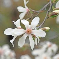 Kobushi Magnolia Stock photo [3050514] Spring