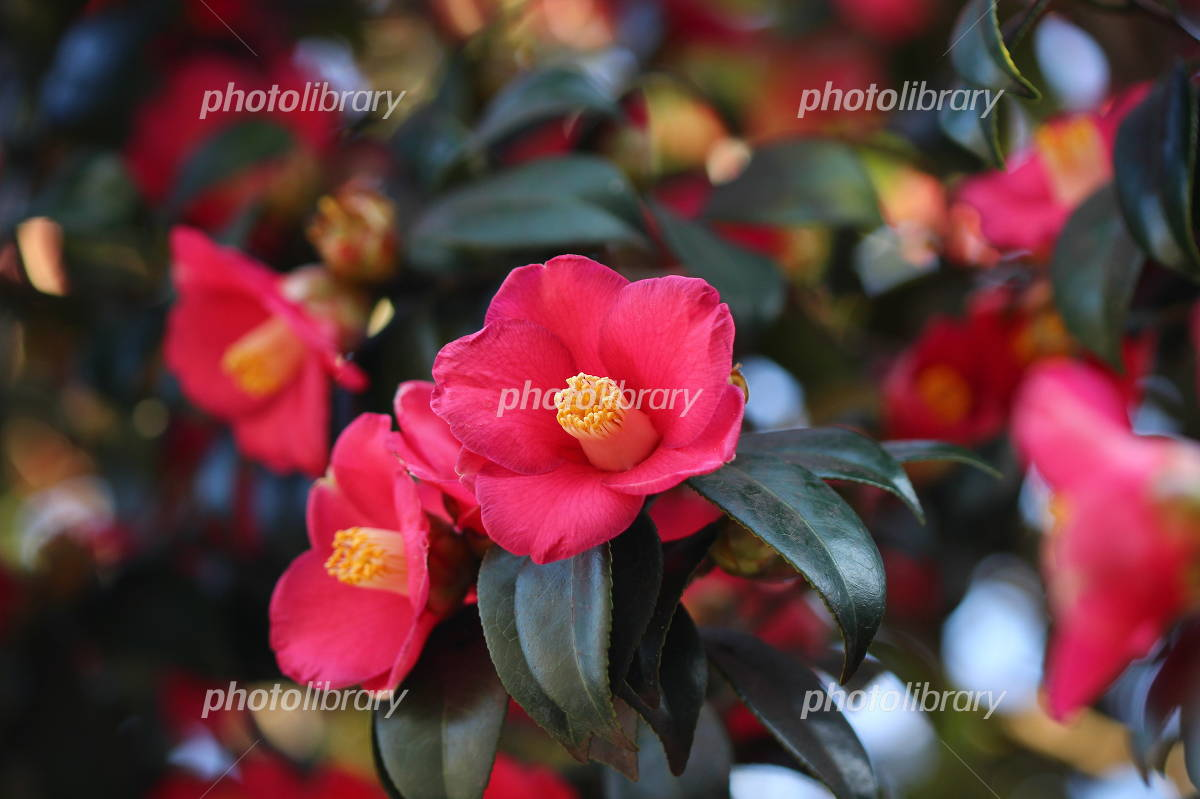 Camellia japonica in full bloom Photo