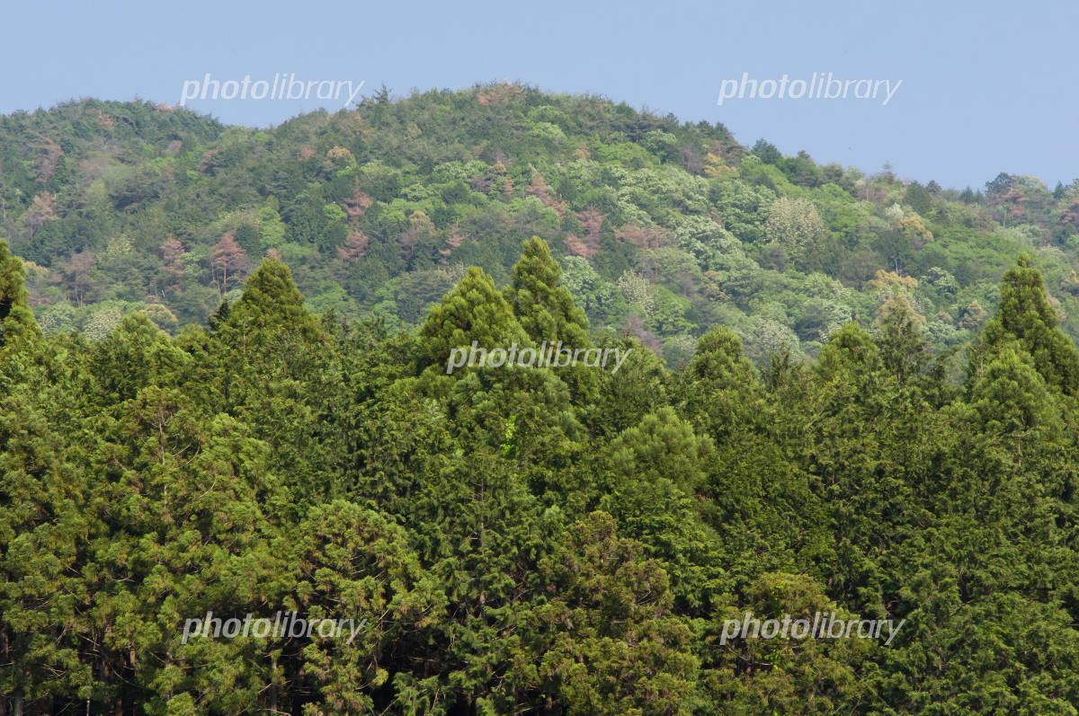 春の醍醐山と杉林 写真素材 [ 31...