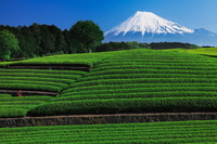 Tea plantations and Mount Fuji Stock photo [3125495] Mt.
