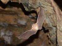 flying horseshoe bat Stock photo [3126096] Horseshoe