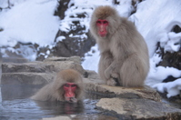 Monkey and hot springs Stock photo [3129814] APE