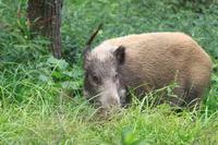 Wild boar of grassland Stock photo [3130042] Wild