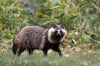 Raccoon dog Stock photo [3130229] Wild