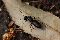 Camponotus japonicus Mayr Stock photo [3131156] Camponotus
