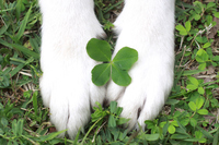 Forefoot of clover and dogs of four-leaf Stock photo [3131668] Foot