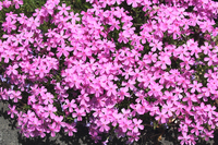 Ground pink (phlox: Phlox subulata) Stock photo [3132879] Moss