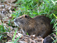Nutria Stock photo [3133053] Nutria