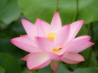 Lotus Stock photo [3230423] Lotus