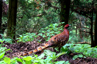 The wild bird copper pheasant Japanese endemic species in the forest Stock photo [3234293] Natural