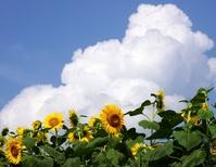 Midsummer Stock photo [3236335] Sunflower