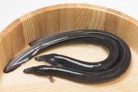 Two dogs of eel Stock photo [3239736] Eel
