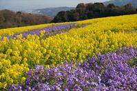 Flower garden of rape blossoms and Murasakihanana Stock photo [3241284] Rape
