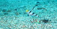Symbiosis of goby and shrimp Stock photo [3241584] Fin