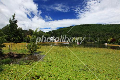 長野県白樺湖のアサザの群生 写真素材 3335173 フォトライブ