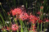 Amaryllidaceae flower and bud Stock photo [3337433] Lycoris
