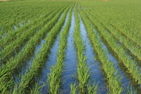 Rice paddy Stock photo [3338685] Rice