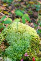 Hosobaokinagoke Stock photo [3420556] Lichen