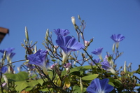 Morning glory to blend into the blue sky Stock photo [3422500] Morning