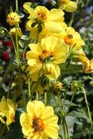 Dahlia and flower beetle Stock photo [3427224] Dahlia