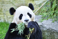 Panda Stock photo [3518092] Panda