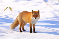 Red Fox Red
