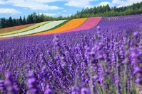 Furano lavender field Stock photo [3524407] Hokkaido
