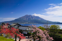 Of pessimism cherry Seniwao Gardens and Sakurajima Stock photo [3625935] Sakurajima